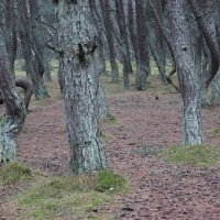 Танцующий лес Куршской косы 4 :: Марина Домосилецкая