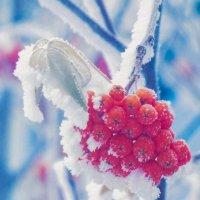 Рябина в снегу :: Ксения Стадникова