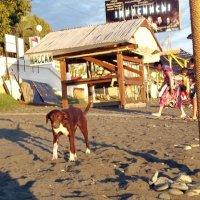 Бездомная собака на Сочинском пляже :: Владимир Ростовский