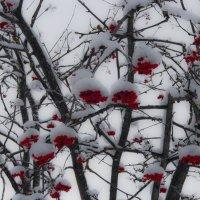 рябина зимой :: Юлия Денискина