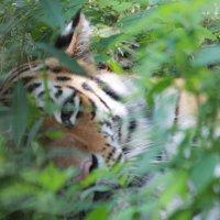 Уссурийский тигр :: Андрей Щинов