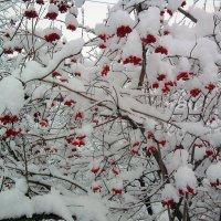 Калина друге декабря :: Тоня Просова