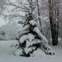 Ель друге декабря :: Тоня Просова