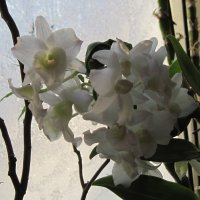 Орхидея :: Маера Урусова