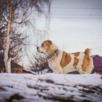 прохожий пёс :: Ксения смирнова