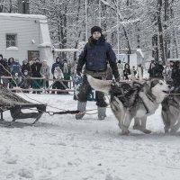 Рождественская гонка на собачьих упряжках :: Елена Логачева