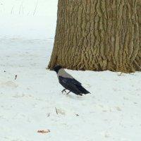 Одинокая ворона :: alemigun