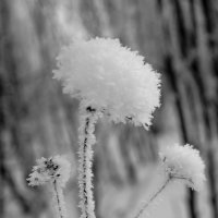 Цветок для Снежной Королевы :: Сергей