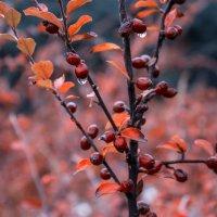 Осенние ягоды. :: Svetlana