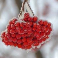 Зимняя рябина :: Михаил Измайлов