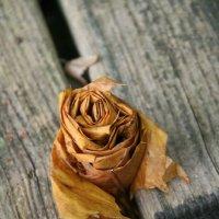 Розочка из клинновых листьев :: Kapris VS