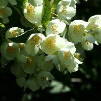 Пышное цветение весны :: Swetlana V