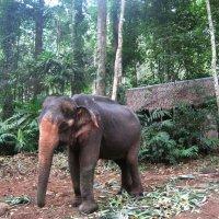 Остров Ко Чанг. Слонёнок из горных джунглей. :: Лариса (Phinikia) Двойникова