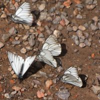 Бабочки БОЯРЫШНИЦЫ :: GalLinna Ерошенко
