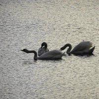Лебеди в лучах утреннего январского солнца :: Маргарита Батырева