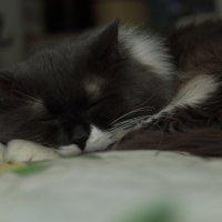 Спящий кот :: Николай Холопов
