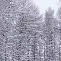Полосатый лес :: Сергей Беляев