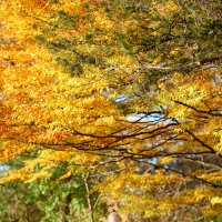 Золотая осень :: Anna Shevtsova