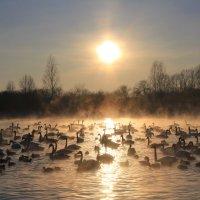 Закат на лебедином озере :: Лариса Б