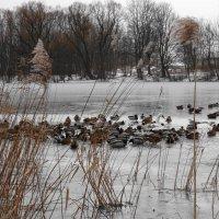 На следующий день на озере остался один лебедь в компании с сотоварищами :: Маргарита Батырева