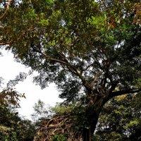 Дерево, поглотившее храм. Самбор Прей Кук (Sambor Prey Kuk) :: Tatiana Belyatskaya