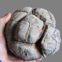 Внешний вид окаменелости :: Виталий Купченко