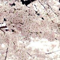 Сакура в Нагоя :: Swetlana V