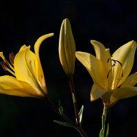 Лилейный блеск софитовых соцветий :: Luis-Ogonek *
