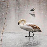 Ещё через сутки эта красивая птица  осталась  одна :: Маргарита Батырева