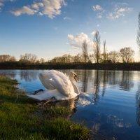 Лебедь :: Дмитрий