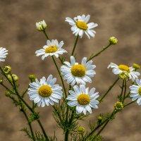 Цветы июня :: Игорь Сикорский