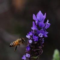 Лаванда и пчела :: Александр Деревяшкин