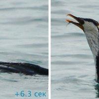 Баклан поймал рыбу и проглотил за 10 секунд (5/5) :: Асылбек Айманов
