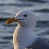 Портрет чайки :: Ксения Репина