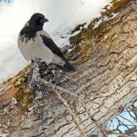 Серый ворон. :: Марина Никулина