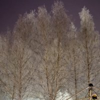 Новогодние берёзки :: Андрей Щетинин