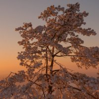 Снежное дерево в морозном закате :: Сергей Тагиров