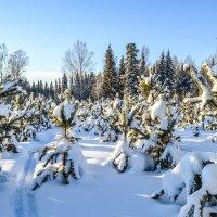 лыжня в зимнем царстве :: сергей