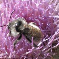 горная пчела :: Юрий Словецкий