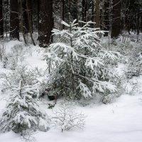 Прогулка по заснеженному лесу :: Елена Павлова (Смолова)