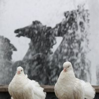Белокрылые красавцы :: Олег ...