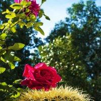 Роза и Кактус ..... :: Aleks Ben Israel