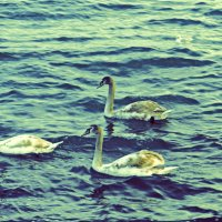 Лебединое море :: Юлия Букша