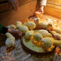 Желтый, маленький цыпленок. :: Наталья Джикидзе (Берёзина)