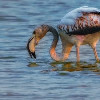 фламинго :: svabboy photo