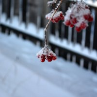 кровавого цвета ягоды.. :: Евгения Петрунина