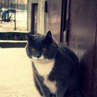 Серый кот. :: сергей лебедев
