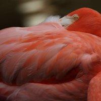 Flamingo :: Naum