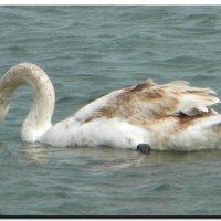 молодой  лебедь. :: Ivana
