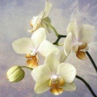 Желтая орхидея :: Ирина Приходько